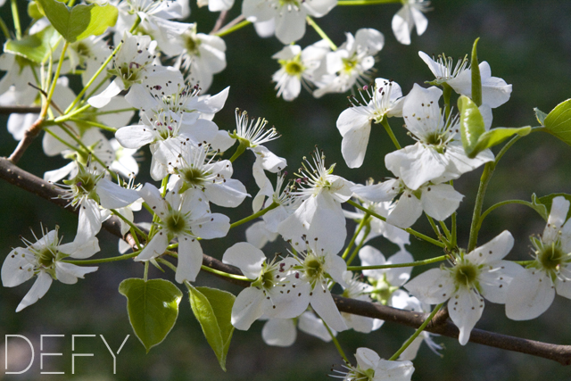 Pear Tree Bloom