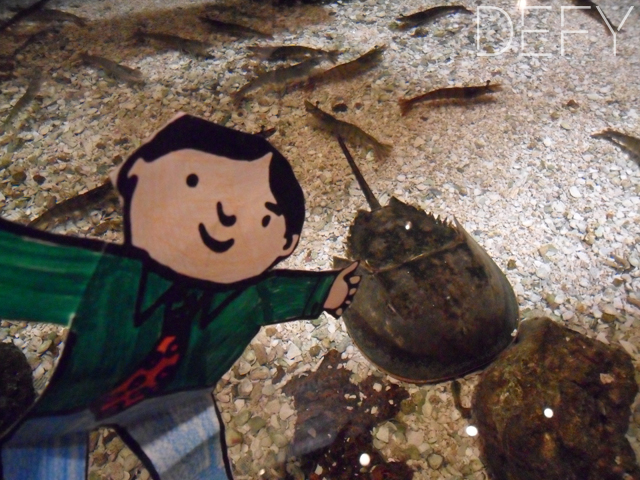 Flat Stanley Petting Horse Shoe Crab